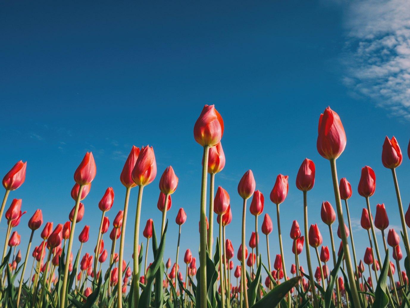 La tulipomania o crisis de los tulipanes